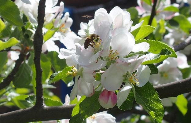 Bienen_Apfelbau.jpg